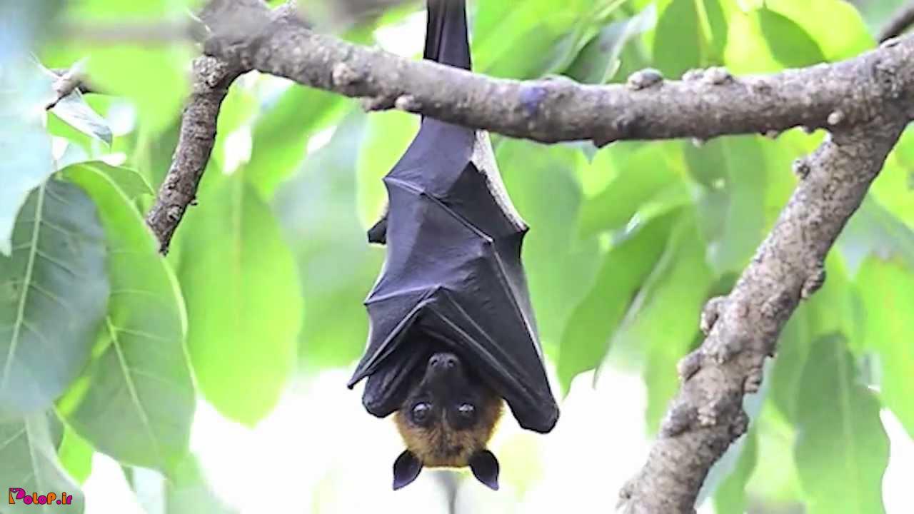 خفاش روزها عینک آفتابی می زند