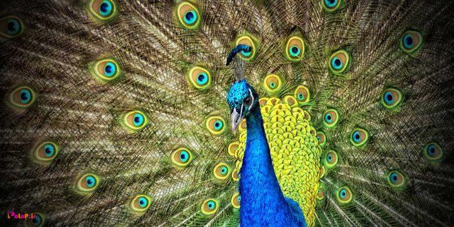 آدم بدبین پاهای طاووس را می بیند