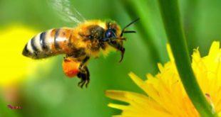 قدیمی ترین و ماهرترین قناد ، زنبور است
