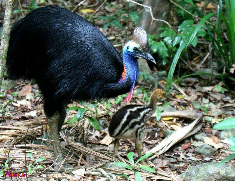 خطرناک ترین پرنده جهان هرسال 200قربانی میگیرد