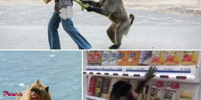 میمونهای ماکاکو در ژاپن اموخته اند کیف دستی