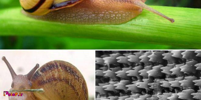 دندان های حلزون ها قوی ترین ماده