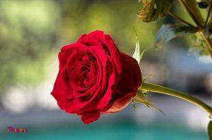 ⚛👈چای گل سرخ تب بر است