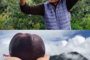 عجیب ترین گونه سیب درجهان سیب سیاه ڪه با لقب الماس سیاه