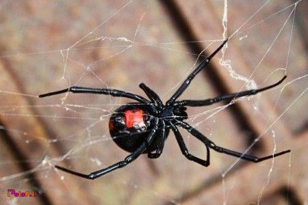 این بزرگوار عنکبوت بیوه نام داره، اما چرا بهش میگن بیوه؟