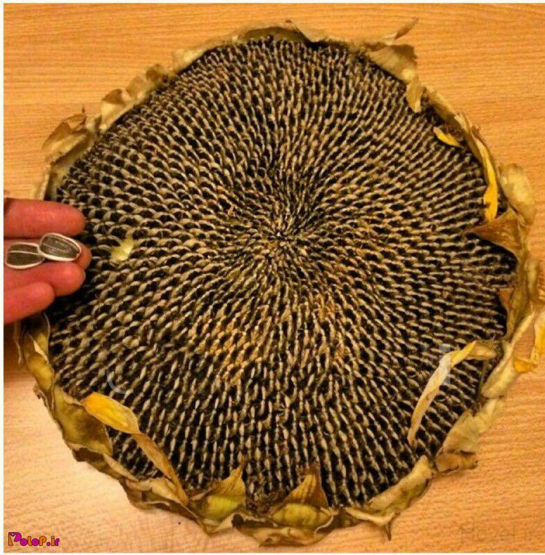 ✨میدونستید «آهن» موجود در «تخمه آفتابگردان »میتواند با جوانه گندم، جگر و زرده تخم مرغ وارد رقابت شود