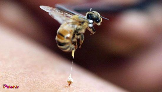 حتما شنیدید که زنبورها بعد از نیش زدن میمیرن، ولی میدونید چرا؟