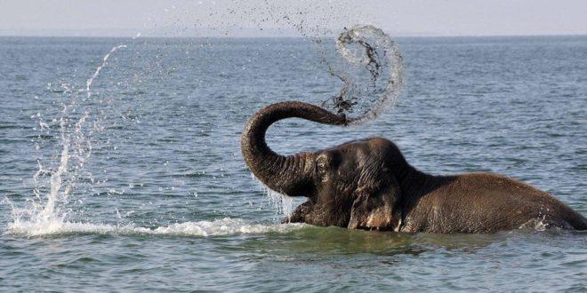 جالبه بدونید که فیلها شناگران بسیار ماهری هستند. اونا میتونن تا شش ساعت و ۴۸ کیلومتر شنا کنند.