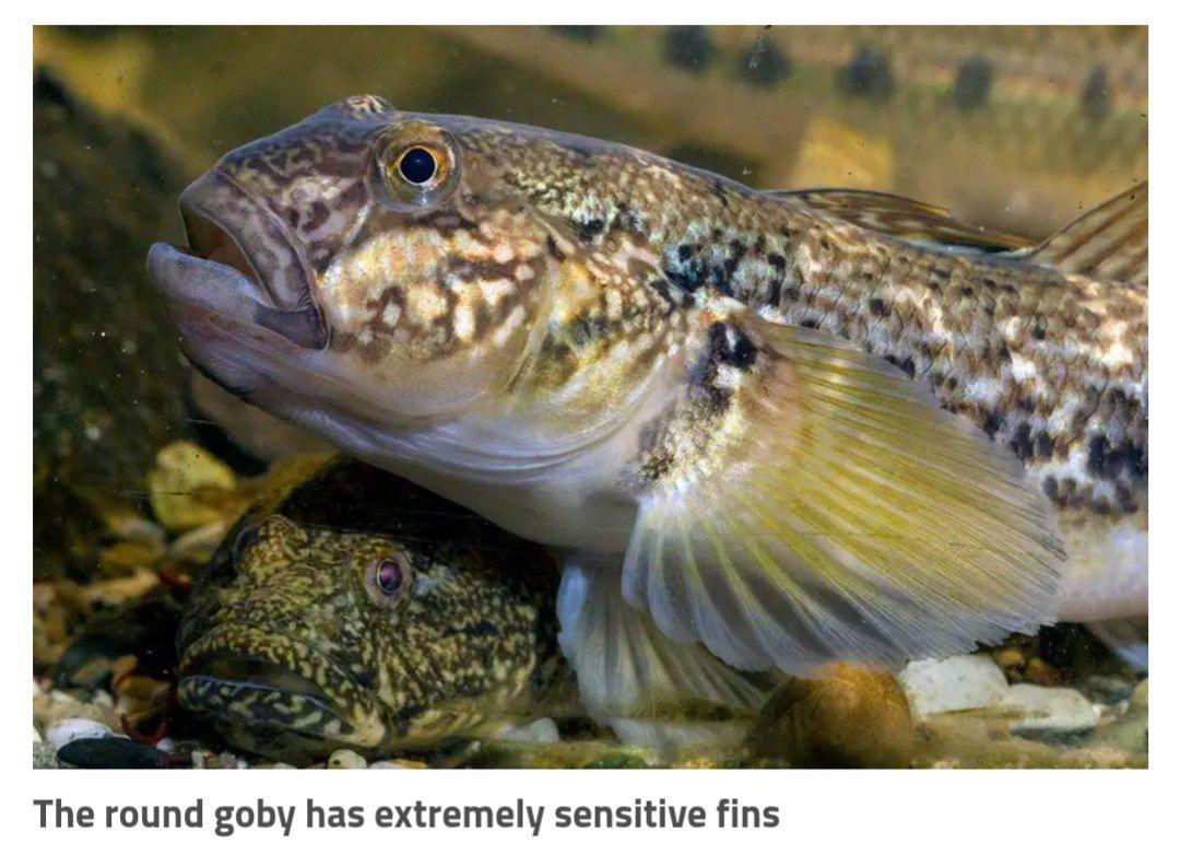 تا الان فکر میکردن ماهیها از بالههاشون فقط برای شنا و حرکت کردن استفاده میکردن! اخیرا فهمیدن نه این بالهها حس لامسه داره