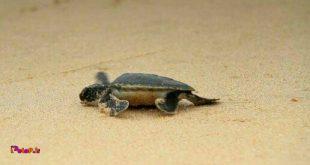 جالبه بدونید که جنسیت لاکپشت دریایی با دمای ماسهای که در آن متولد میشه تعیین میشه.