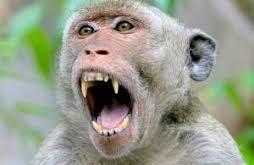 محققان دانشگاه کمبریج طی یک پژوهش شگفتآور در مورد میمونهای زوزهکش متوجه شدند که هرچه صدای میمون نر بلندتر باشه، بیضههای او کوچکتر است!