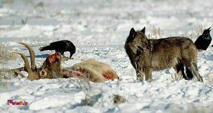در مورد رابطه همزیستی گرگها و کلاغها چیزی میدونید؟!