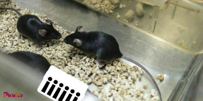 پژوهشگران توانستند با دستکاری ژنها و ساعت بیولوژیک یک موش پیر بینایی رو به اون برگردوند!