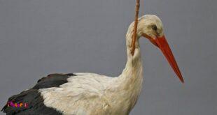 تا سال ۱۸۸۲ دانشمندان درباره مهاجرت پرندگان به یقین نرسیده بودن،