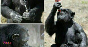 شامپانزه ها به سیگار و مشروب علاقه خاصی دارند.