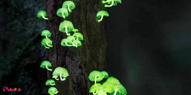 تقریباً صد نوع قارچ شناسایی شدند که در شب از خودشون نور ميدند!