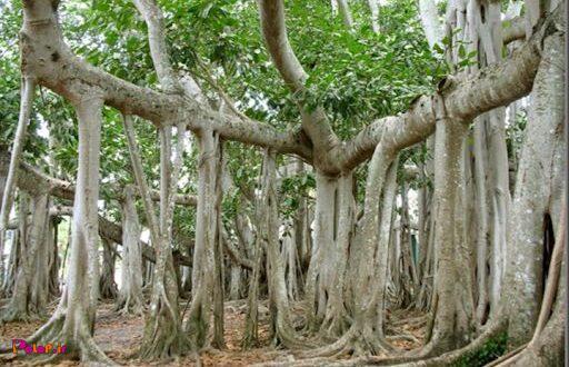 درخت بانیان یک درخت منحصربفرده چون ریشههاش از شاخهی درخت به سمت زمین میاد!