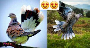 هرچند نامش قمری معمولی ( Turtle Doves ) است، اما در حقیقت درشمار نادرترین اعضای خانواده کبوتران محسوب شده و یک پرنده مهاجر است.