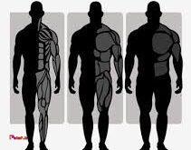 مشخصات تیپ های بدنی مختلف