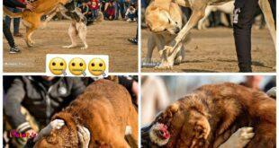 مسابقات وحشیانه جنگ خونین سگها