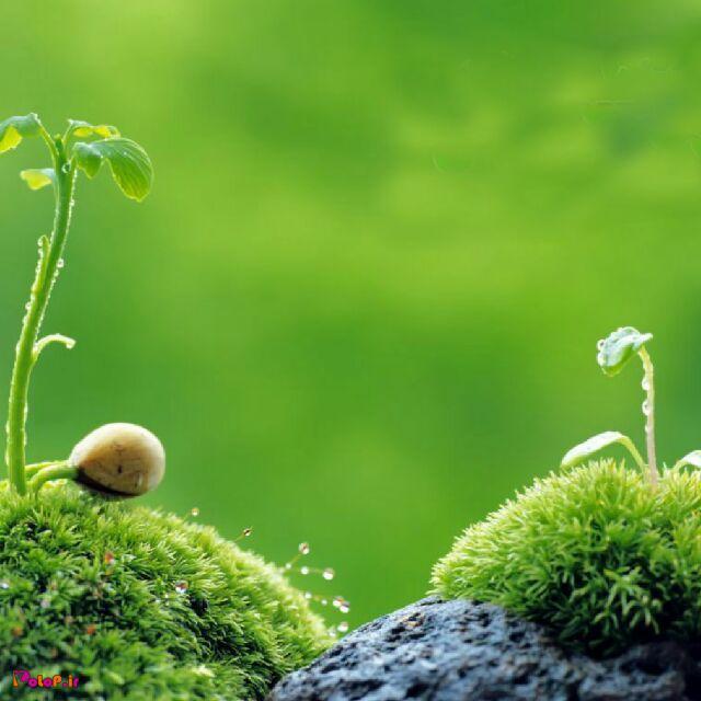 گیاهان ضددرد: