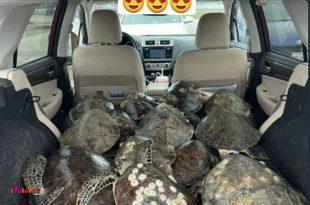 ساکنان سواحل تگزاس جمع شدند دارن لاک پشتها رو نجات میدن!