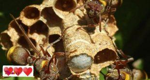 زنبورها فرزندان اضافی خودشون رو به دایهها میسپرن!
