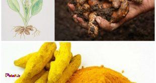 زردچوبهی خشک بیماری آلزایمر را درمان میکند