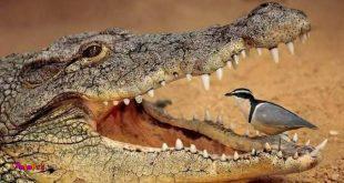 یکی از تعاملهای دیدنی حیات وحش تعامل کروکدیل با این پرنده است.