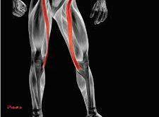 عضلات خیاطه «سارتوریوس» داخل ران